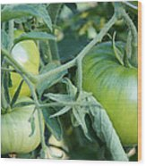 Green Tomato On The Vine Wood Print