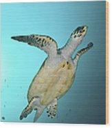 Green Turtle Swimming, Sabah, Malaysia Wood Print