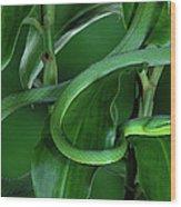 Green Vine Snake Oxybelis Fulgidus Wood Print