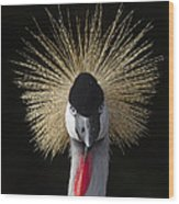 Grey Crowned Crane Balearica Regulorum Wood Print