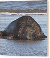 Grey Seal Bull Wood Print