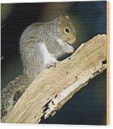 Grey Squirrel Feeding Wood Print by Duncan Shaw