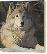 Grey Wolf Canis Lupus In Ecomuseum Zoo Wood Print