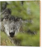 Grey Wolf, Outside Golden, British Wood Print