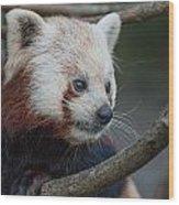 Grimacing Red Panda Wood Print