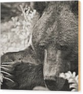 Grizzly At Rest Wood Print