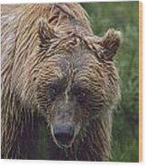 Grizzly Bear Ursus Arctos, Denali Wood Print