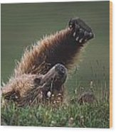 Grizzly Bear Ursus Arctos Stretching Wood Print