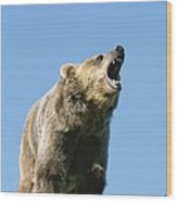 Grizzly Bear Vocalizing Wood Print