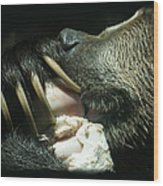 Grizzly Eating Wood Print