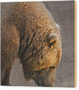 Grizzly Hanging Head Wood Print