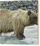 Grizzly Sow In Denali Wood Print