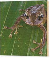 Ground Frog Nakanai Mts Papua New Guinea Wood Print by Piotr Naskrecki