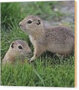Ground Squirrels, Oak Hammock Marsh Wood Print