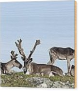 Group Of Caribou Resting On Alpine Wood Print