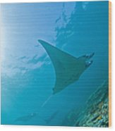 Group Of Manta Rays In Blue Water Wood Print