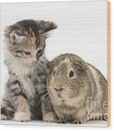 Guinea Pig And Maine Coon-cross Kitten Wood Print
