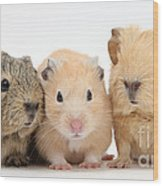 Guinea Pigs And Hamster Wood Print