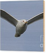 Gull In Flight . 7d12082 Wood Print