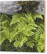 Gymnocarpium Robertianum Wood Print