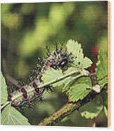 Gypsy Moth Larva Chomp Wood Print