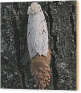 Gypsy Moth With Egg Mass Wood Print