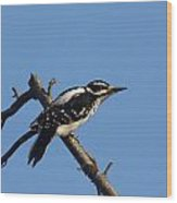 Hairy Woodpecker Wood Print