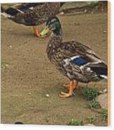 Handsome Mallard Wood Print