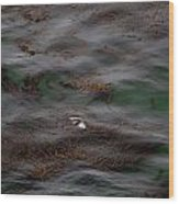 Harbor Seal In Kelp Bed Wood Print