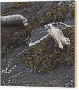 Harbor Seals Wood Print