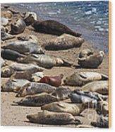 Harbor Seals Sunbathing On The Beach . 40d7553 Wood Print