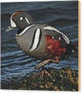 Harlequin Duck Wood Print