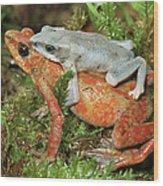 Harlequin Frog Atelopus Varius Pair Wood Print