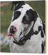 Harlequin Great Dane Wood Print