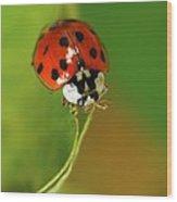 Harlequin Ladybird Wood Print