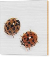 Harlequin Ladybirds Wood Print