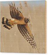 Harrier Over Golden Grass Wood Print by William Jobes