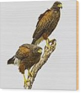 Harris' Hawk Pair Wood Print
