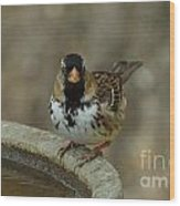 Harris's Sparrow Wood Print