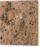 Harvestman Crosbyella Sp. In Cave Wood Print
