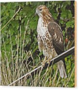 Hawk At A Wedding Wood Print