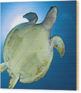 Hawksbill Sea Turtle Belly, Australia Wood Print