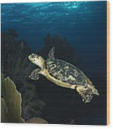 Hawksbill Sea Turtle Swimming Wood Print
