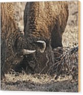 Head Butting Bison Wood Print