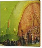 Head Of Polyphemus Caterpillar Wood Print