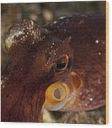 Head Shot Of A Brownish Red Coconut Wood Print