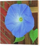 Heavenly Blue Morning Glory Wood Print