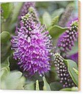 Hebe Dona Diana Flowers Wood Print