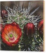 Hedgehog Cactus Flowers  Wood Print