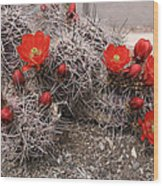 Hedgehog Cactus With Red Blossoms Wood Print